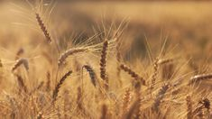 Science Discovers Wheat Crops Grow Faster Under LED Lights