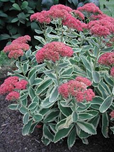 "Sedum telephium 'AUTUMN CHARM™' 14-18"" tall. Zone 3-9. Habit is more sturdy than Autumn Joy."