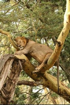 Lion sleeping on tree branches.