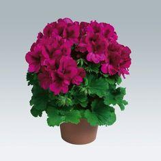 Как вырастить шикарную герань / Домоседы Beautiful Flowers Garden, Amazing Flowers, Geranium Plant, Vegetable Garden Design, Plant Sale, Small Farm, Container Plants, Houseplants, Indoor Plants