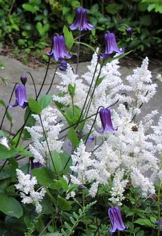 My garden makes me happy. Clematis roguchi and astilbe