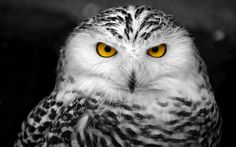 snowy owl - Yahoo Image Search results