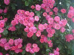 angela rose bush | Angela | Climbings | The corridor of the roses Kordes Rosen, Rose Bush, Climbing Roses, English Roses, Floral Wreath, Wreaths, Flowers, Plants, Corridor