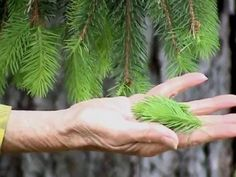 Spruce & other conifers edibles & identification.  (8min)   Many gourmet chefs are experimenting with this evergreen & maybe you should too! www.tagyer...