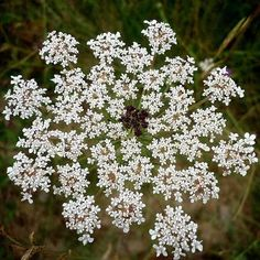 Remedy of The Day: Queen Anne's Lace/Wild Carrot. May cause contact dermatitis. Not suitable during pregnancy or if youre trying for a baby #herbs #remedieshttp://www.frannsalthealth.com/blog/queen-annes-lace-health-benefits/