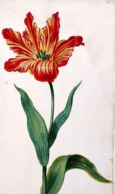 Het Tulpenboek bevat 122 afbeeldingen van tulpen, vervaardigd door de uit Leiden afkomstige Jacob Isaacsz van Swanenburch (1571-1638, Tulpenboek | IISH