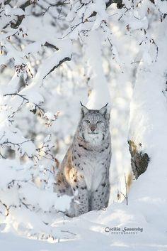 Nature Animals, Animals And Pets, Baby Animals, Cute Animals, Wild Animals, Big Cats, Cool Cats, Cats And Kittens, Beautiful Cats