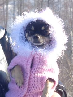I am Puppy - a Supermodel from Austria! Austria, Chihuahua, Supermodels, Teddy Bear, Puppies, Toys, Animals, Puppys, Breien