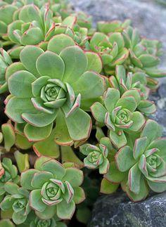Dry shade Aeonium