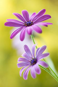 Cape daisies by Mandy Disher