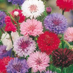 Polka Dot Mix bachelors button seeds - Wide range of solid and bicolor blooms - Annual Flower Garden Seeds Flora Flowers, Edible Flowers, Fall Flowers, Wedding Flowers, Summer Flowers, Cut Flowers, Garden Bulbs, Garden Plants, Sutton Seeds