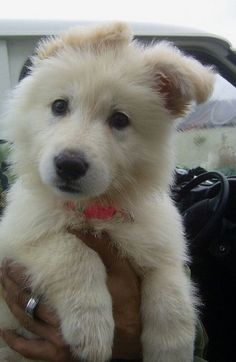 Cute Puppies Looks like a Great Pyrenees puppy