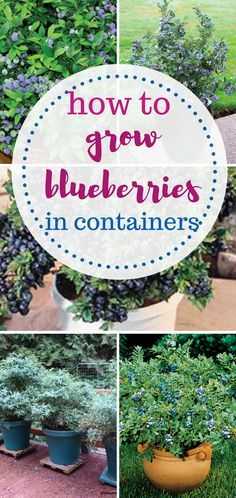 How to grow blueberries in containers. Gardening, Gardening Hacks, Gardening Tips and Tricks, Gardening 101, Indoor Gardening Hacks, Indoor Gardening 101