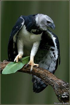 **Harpy Eagle (Harpia harpyja)) MASSIVE bird. Apex predator. Talons as big as a Grizzly bear.