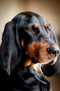 Coonhound - my Alice is part coonhound. She has those pretty brown eyes.