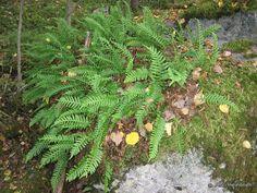 Kallioimarre (Polypodium vulgare) - Lajitiedot - Nettikasvio