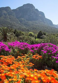 Flowers (Fields Of Pretty)|Kirstenbosch botanical gardens|-- This is just a lovely bed of purple and orange colored flowers with an amazing green background. I can't help but smile when I look at this photo.
