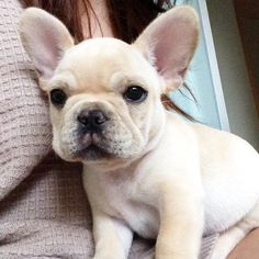 The major breeds of bulldogs are English bulldog, American bulldog, and French bulldog. The bulldog has a broad shoulder which matches with the head. Cãezinhos Bulldog, French Bulldog Puppies, Frenchie Puppies, Funny Bulldog, Mini French Bulldogs, Cream French Bulldog, Fawn French Bulldog, Baby Bulldogs, English Bulldogs