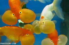 Bubble Eye Goldfish. Freaky but something cute about them too. I'd just be afraid of one of their eyes popping.