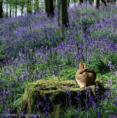 """pagewoman: """"  Rabbit in Bluebell Woods by warren photographic """""""