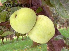 Fürst Blücher Deutschland grau-grüner , später gelber, aromatischer Apfel, Verwendung: als Tafelapfel, mittelstarker Wuchs