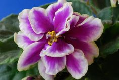 African Violets - Top 10 NASA Approved Houseplants for Improving Indoor Air Quality