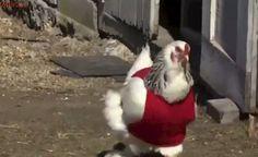 Idosas tricotaram: Galinhas ganham blusas de lã e põem mais ovos