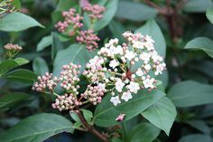 Viburnum tinus 'Eve Price': useful evergreen shrub with sprays of pinky-white flowers opening in bursts through December to March.  Hardy.  Reaches 3m...eventually!