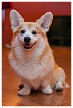 """Corgi smile - """"Let us always meet each other with smile, for the smile is the beginning of love."""""""