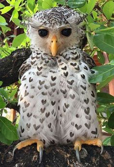 notice the heart pattern all over its   plumage... how cute is that?