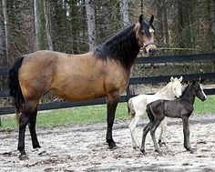 Twin Horses Born 2012 | smoky black colt, perlino filly (Ancan True Colors x Sizzle in Brass)