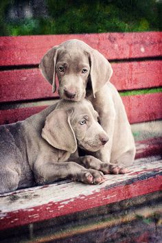 A couple of weimaraner puppies cozy up on a park bench to watch the ducks go by