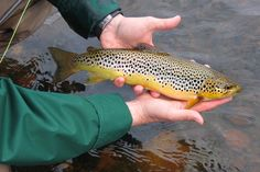 In this two-part guide we highlight some of the top fishing areas for the visiting trout angler with local fishing guide Roger Dowsett of TroutQuest. Trout Fishing, Fly Fishing, North Coast 500, Brown Trout, Fishing Guide, Highlight, Flow, Scotland, Adventure