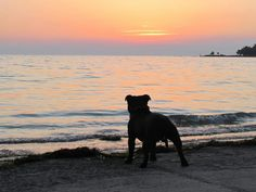 Sunset staffy