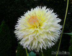 Citron deCap - Dahlia Barn