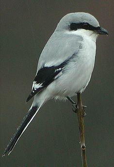 Great Grey Shrike (Lanius excubitor)