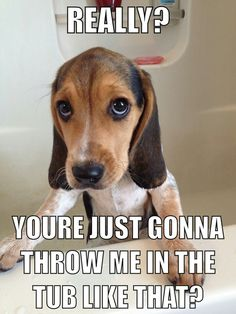 Funny beagle picture/ quote