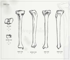 Medical Illustration royalty-free tibia medical illustration stock vector art & more images of tibia Anatomy Sketches, Anatomy Art, Human Skeleton Anatomy, Vintage Medical, Bones And Muscles, Medical Illustration, Vintage Ephemera, Free Vector Art, Image Now