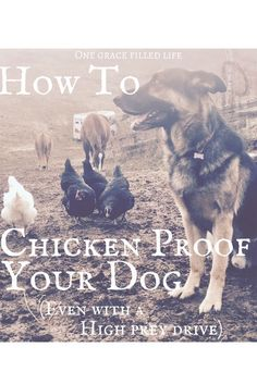 How to Chicken Proof Your Dog! Dog training, training your dog not to kill chickens! #ChickenCoops