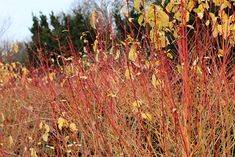 Red twig dogwood would be a nice orange from the front garden > Anglesey Abbey, Cambridge. Gardenista