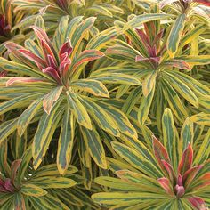 Noted for its unique variegated flowers and foliage, Euphorbia x martinii 'Ascot Rainbow' (Martin's Spurge) is a bushy, dwarf evergreen sub-shrub of great ornamental interest. It forms a mound of stunning rosettes of lance-shaped gray-green leaves ado Planting Shrubs, Garden Shrubs, Garden Plants, Planting Flowers, Balcony Garden, Garden Bed, Landscaping Plants, Begonia, Gardens