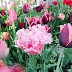 Tämä aika vuodesta. Oravankesäpesä-blogissa lisää kuvia tulppaanien kukinnasta. ♥️ @oravankesapesa #oravankesäpesä #tulppaani #tulip #tulipa #tulipseason #siirtolapuutarha #allotmentgarden #koloni #koloniträdgård #kolonihave #schrebergarten #puutarha #garden #trädgård #have #garten #jardin #tuin  #庭 #ガーデン #spring_inbloom  #facethespring #bloomingseason #pakahdun #pursuepretty #flowersgivemepower Spring, Plants, Instagram, Allotment, Plant, Planets