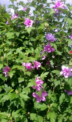 Double ruffled purple hibiscus year three. May 25 2015.