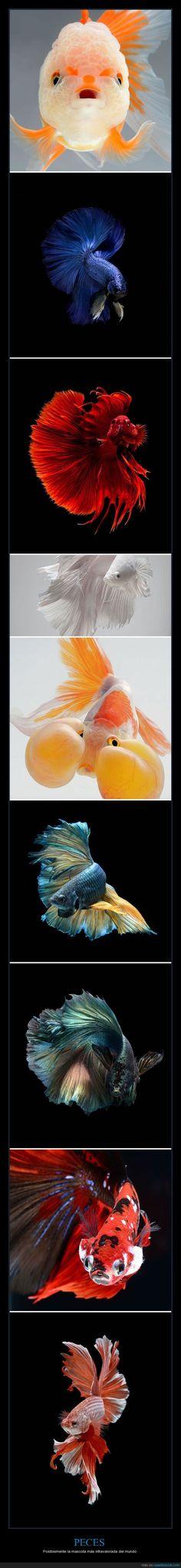 Peces de belleza sin igual. Chúpate esa, Dory - Poslblemente la mascota más infravalorada del mundo