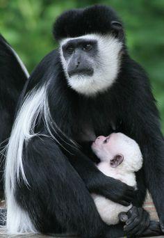 Wooly Colobus (born white, but will begin to get black markings at 6 months) Vida Animal, Animal Hugs, Mundo Animal, My Animal, Primates, Mother And Baby Animals, Animals Beautiful, Cute Animals, Wild Animals Photos