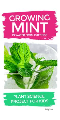 Growing mint clippings from water is a brilliant plant science projects for kids to explore plant lifecycles. The experiment introduces kids of all ages from preschool, kindergarten and KS1 to high school to the concepts of plant propagation and transpiration in biology #plantscience #scienceexperiment #plantlifecycle #kidsscienceexperiments Science Projects For Kids, Cool Science Experiments, Easy Science, Science For Kids, Kids Learning Activities, Stem Activities, Spring Activities, Toddler Activities, Outdoor Activities