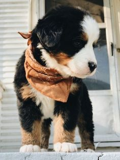 bernese mountain dogs - birds of prey - dogs and puppies Super Cute Puppies, Cute Baby Dogs, Cute Little Puppies, Super Cute Animals, Cute Dogs And Puppies, Cute Little Animals, Cute Funny Animals, Doggies, Puppies Stuff