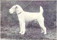 Vit är OK. File:Fox Terrier (wire-hair) from 1915.JPG