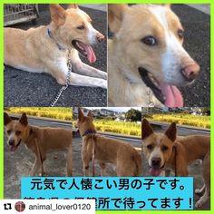 #Repost @animal_lover0120 with @repostapp ・・・ 📢緊急 #拡散希望 ‼️ #徳島県 で #雑種 #犬 #里親募集中 です。元気で人懐こい男の子です!この子は命の期限がついています。  保健所から出さないとこの子は殺されてしまいます… 拡散していただけると繋がる命があります‼️ 拡散方法はTwitterやFacebookなどでも構いません!どうかよろしくお願いいたします😢 #里親募集_徳島 ・ この子の家族になりたい! 質問したい! という方は 私のプロフィール欄【@animal_lover0120 】にリンクを貼っています。 詳細条件にあるキーワードに 119954 と入力するとこの子のページが開きます。「里親を申し出る・質問する」  の赤いボタンがありますのでそちらをクリックしてください。 ・ ペット基本情報 施設名#徳島県動物愛護管理センター ここには連絡しないで下さい! 施設住所徳島県 名西郡神山町阿野字長谷333 種類 #雑種 年齢成犬 (推定8歳) サイズ中型犬雄雌♂ オス…