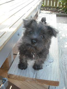 Wauzer puppy - west highland terrier X mini schnauzer